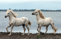 2016 Best Two Camargue Stallions (1) (maskirovka77) Tags: stallion stallions createaway saintlaurentdaigouze languedocroussillonmidipyrén france languedocroussillonmidipyrénées fr