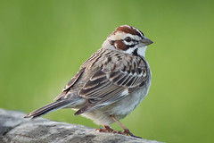 Fluffed up Lark Sparrow - explore (alicecahill) Tags: california usa wild wildlife ©alicecahill sanluisobispocounty larksparrow bird centralcoast sparrow morrobay animal