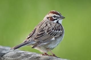 Fluffed up Lark Sparrow - explore