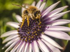 Babybiene in Action (schasa68) Tags: natur nature natureshots natureza naturshot blume flower biene blüte bee blütenstaub blossom babybee macro makro nahaufnahme tiefenschärfe vergröserung garten insekt