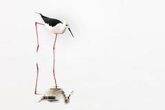 Black-winged Stilt (Louise Denton) Tags: bird tropical wader black winged stilt water reflection minimal less is more