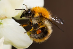 Hommel (paulbunt60) Tags: hommel insect insekt bumblebee