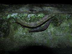 Irish Yellow Slugs - Limacus maculatus (sam2cents) Tags: nature wildlife slugs molluscs wicklow ireland irishyellowslug greencellarslug limacusmaculatus slimy green yellow beautiful invertebrate humidity