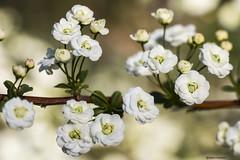 Spiraea prunifolia (Marco Ottaviani on/off) Tags: natura nature piante plants plantae rosaceae spiraea sprunifolia fiori flowers giardino garden primavera spring canon marcoottaviani