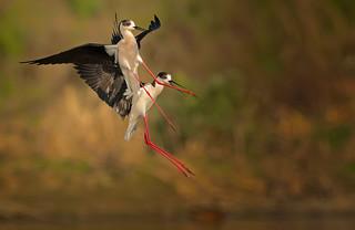 Black-winged Stilt: Himantopus himantopus (Explored)
