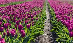 Tulpen (Omroep Zeeland) Tags: tulpen voorjaar bloeien