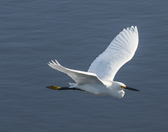 Snowy Egret Fly By (shottwokill) Tags: nature birds wildlife earlymorning wetlands marsh egret snowyegret bolsachica