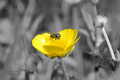 Bug eyes (Gareth83cdf) Tags: park uk flowers inspiration art nature yellow wales insect nikon experimental natural wildlife creative cardiff bee butepark buttercups selectivecolour d5100