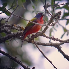 Painted bunting (Erin R. Photography) Tags: cute bird nature outdoors nikon texas painted bunting d5100 streamzoo