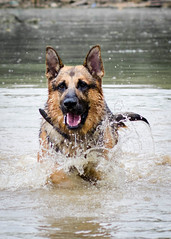 Branko Swims 2013-06-07-10 (falon_167) Tags: dog shepherd german gsd germanshepherddog branko
