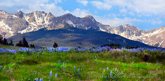 HEARTBEAT ... (Aspenbreeze) Tags: flowers snow mountains colorado wildflowers lupine sanjuanmountains fleabane mountainpeaks mtsneffels aspenbreeze moonandbackphotography bevzuerlein