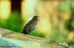 storno (gianluca.catelli) Tags: bird birds uccelli birdwatching uccello storno