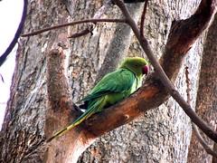 Ring Necked Parakeet (Sugan Raj) Tags: india rose neck photography nikon ring parakeet shutters coolpix sugan clickster p510