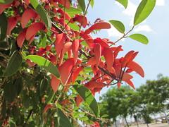Erythrina crista-galli (esta_ahi) Tags: barcelona red españa spain árboles árbol erythrina fabaceae jardinería ceibo leguminosae cristagalli erythrinacristagalli flordecoral cultivados испания árboldelcoral