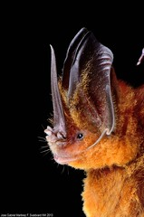 Murcielago Orejudo dorado /Common Sword-nosed Bat