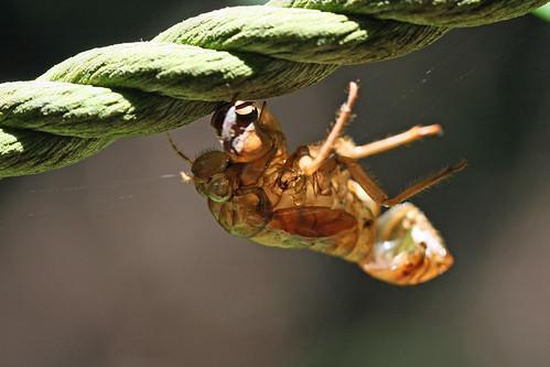 自然環境保全センターのセミの抜け殻(Cicada shell, Nature Environment Preservation Center, Kanagawa, Japan)