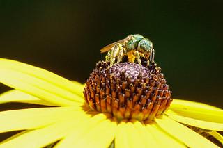 2013 8.4.13. green sweat bee