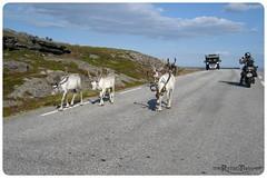 on the road (=RetroTwin=) Tags: road street travel animal norway norge north skandinavien norwegen visit motorcycle cape scandinavia rentier motorrad nordkap nordkapp rendeer 2013 lostillusion75 retrotwin