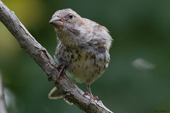 Purple Finch (Diane Marshman) Tags: summer brown white tree bird nature birds branch purple pennsylvania wildlife birding feathers young tan pa finch perched immature streaked juvenile juvie