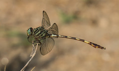 broad-striped forceptail (explored 9/2/2013) (robert salinas) Tags: dragonflies a57 hornsbybend odonates