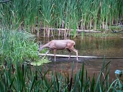 Deer In The Reeds (L Westy) Tags: arizona sedona doe hike deer oakcreekcanyon