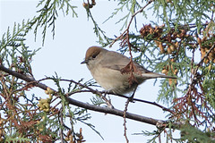 European blackcap, no kidding! (Sergei Golyshev offline, gone birding till 21.04) Tags: city bird nature campus university european state moscow wildlife birding msu telephoto sylvia grounds warbler territory  blackcap    atricapilla