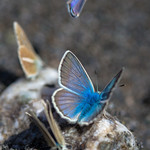 Argus Bleus de Saint-Véran thumbnail