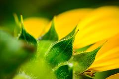 Sunflower....  :)) (lickitysplit11111) Tags: greatphotographers flickerestrellas saariysqualitypictures