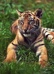 Tiger Cub (Ian_Boys) Tags: uk baby cat zoo cub nikon tiger chester 180mm 2013 d700