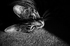 Austin Lazing in a Patch of Sun (M. Kamran Meyer) Tags: sleeping blackandwhite bw pet sunshine animal contrast cat austin fur furry kitten feline warm nap shadows fuzzy sleep tabby warmth kitty spot whiskers lazy whisker snooze napping lounging