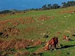 caballos 30 10 13 (Larretxipi) Tags: caballos euskadi paysbasque hondarribia jaizkibel