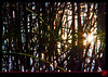 Piège à étoiles (mamnic47 - Over 8 millions views.Thks!) Tags: roseaux img9741 effetphotoshop roseliere effetsdelumières