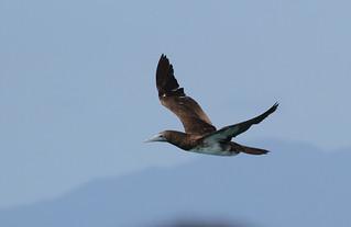 Brown Booby In Flight (Australia #5)