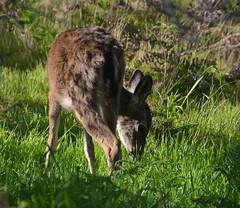 Asilomar deer 4 (afagen) Tags: california deer pacificgrove asilomar montereypeninsula asilomarconferencegrounds
