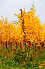 autumnal vine and a rose (just_analog) Tags: autumn nikon herbst sigma vine autumnal stetten weinberg weinrebe yburg kernen d7000