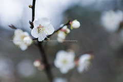 () Tags: canon  plumblossom plumflower   2470mmf28l 1dx whiteplumflower