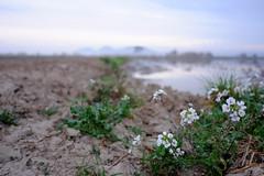 El Montgrí desdibuixat (ouyea...) Tags: flores flower fleur landscape pals paisaje fujifilm paysage fujinon paisatge baixempordà landschsft elmontgrí fujifilmxpro fujifilmxpro1 fujiflmxpro1