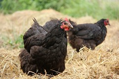 . (Say! Little Hen) Tags: chickens chicken outdoors farm hay australorp