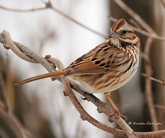 Song Sparrow (acadia_breeze4130) Tags: winter cold bird nature canon outdoors backyard pennsylvania song ngc birding sparrow 7d birdwatching harrisburg backyardbirds karencarlson avianexcellence simplysuperb