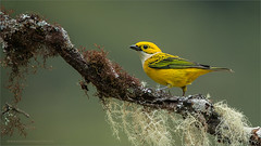 Silver-throated Tanager (Raymond J Barlow) Tags: travel green bird yellow costarica wildlife ngc npc tanager raymondbarlowphototours