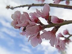 Flor del durazno (McMexicano ) Tags: flower nature canon flor peach powershot durazno g16 peachflower flordeldurazno guillermobuelna