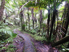 El Yunque National Forest (Night-thing) Tags: park trees forest rainforest puertorico path greenery elyunque