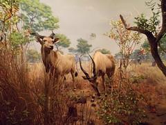 Giant Eland (Fernando Bryan Frizzarin) Tags: new york history museum museu natural american eua use história americano