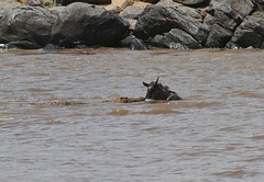 A pivotal moment! (Rainbirder) Tags: kenya maasaimara nilecrocodile bluewildebeest connochaetestaurinus crocodylusniloticus rainbirder