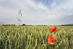 Flanders Fields (VISITFLANDERS) Tags: red summer flower war symbol vrede ieper poppies fields worldwar klaproos flanders bloem poppie flandersfields oorlog salient klaprozen wereldoorlog wo1 symbool westtoer woi ypressalient bartheirweg ieperboog visitflanders