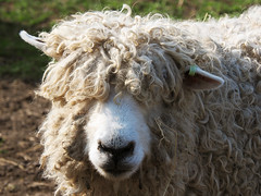 Groovy hairdo (Hans & Liek) Tags: waddenzee spring wadden sheep lamb lente lam texel schapen sheepfarm waddeneilanden lammetje waddensea schapenboerderij