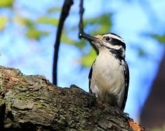 hairy woodpecker IMG_6839 (lreis_naturalist) Tags: hairy woodpecker reis larry