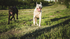 (Katarina Drezga) Tags: pets dogs nature grass countryside perro perros pas dogphotography canecorso petphotography fileds dogoargentino outdoorphotography nikond3100 nikkor55300mm4556gvr