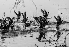 Coots, in a Frenzy (Mayank Bhatnagar) Tags: blackandwhite water birds speed splatter wetland runningaway frenzy bharatpur keoladeonationalpark commoncoots blackandwhitebirds