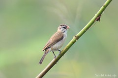 Red-billed Quelea. Punggol Barat (5 Jul 2015) (Vinchel) Tags: bird animal canon singapore outdoor wildlife punggol barat 400mm 5dsr